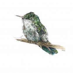 Colibri huppe