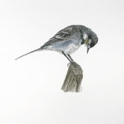Bergeronette grise
