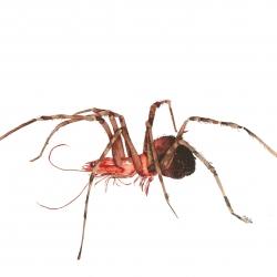 Araignée crevette